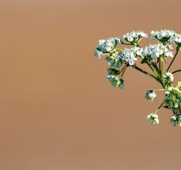 cow parsley on pinkish background